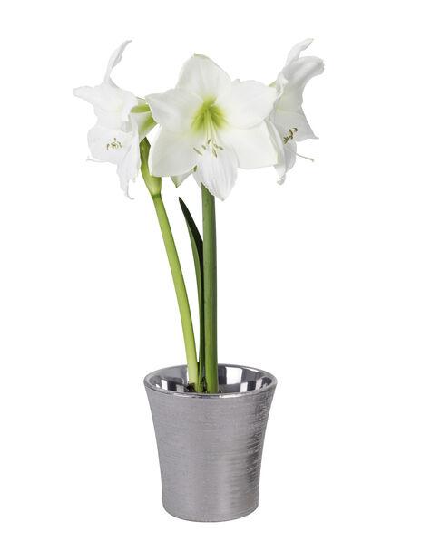Amaryllis 2 grener hvit 13 cm
