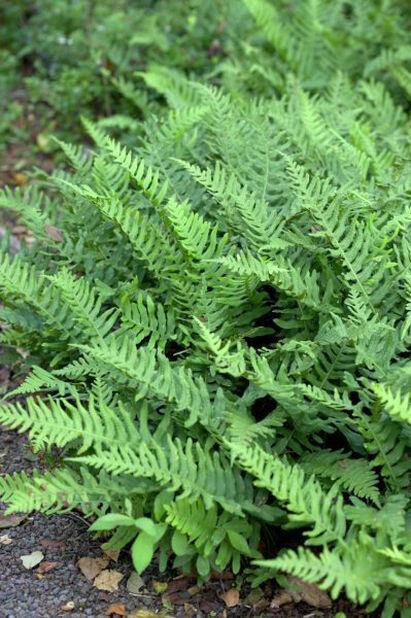Sisselrot, Høyde 15 cm, Grønn