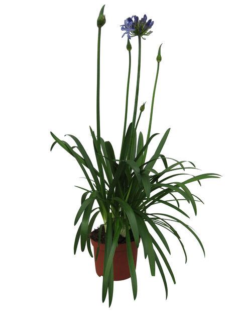 Afrikalilje 'Amourette Superb', Ø17 cm, Blå