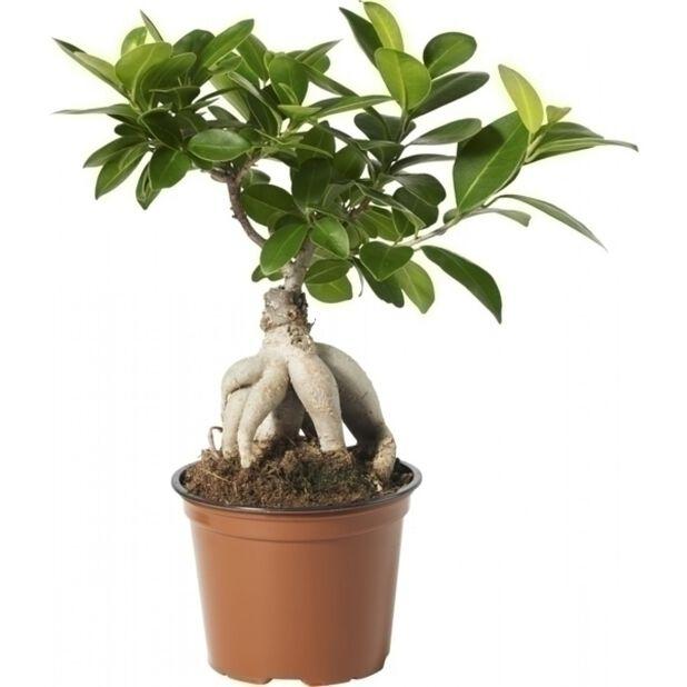 Bonsaifiken 12 cm