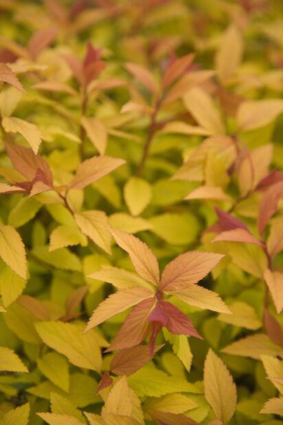 Japanspirea 'Walbuma', Ø22 cm, Rosa