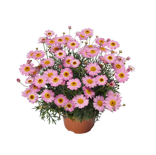 Margeritt i 12 cm rosa