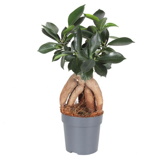Bonsaifiken, Høyde 25 cm, Grønn