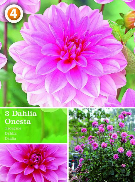 Dahlia Decorative Onesta, Rosa