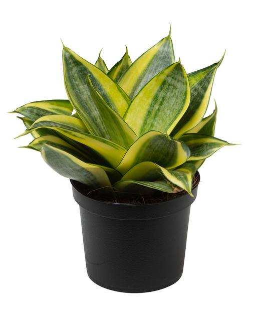 Aloe demi 17 cm