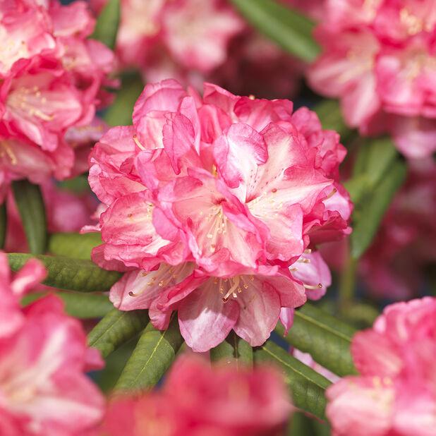 Rododendron 'Arabella', Ø23 cm, Rosa