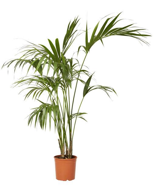Kentiapalme, Høyde 140 cm, Grønn