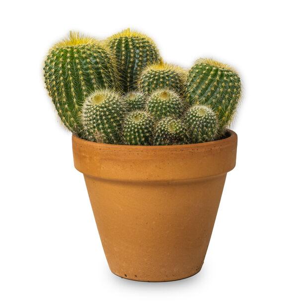 Kaktus miks i potte, Høyde 15 cm, Grønn