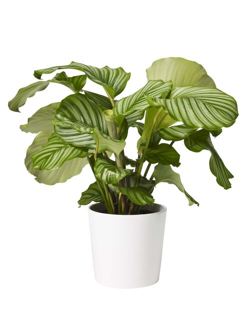 Calathea 'Orbifolia' 19 cm