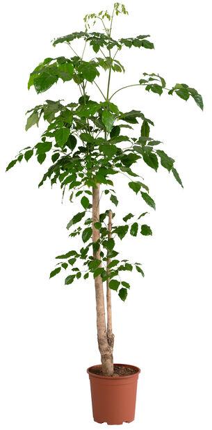Stueask , Høyde 135 cm, Grønn