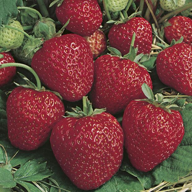 Jordbær 'Polka', 6 pk, Hvit