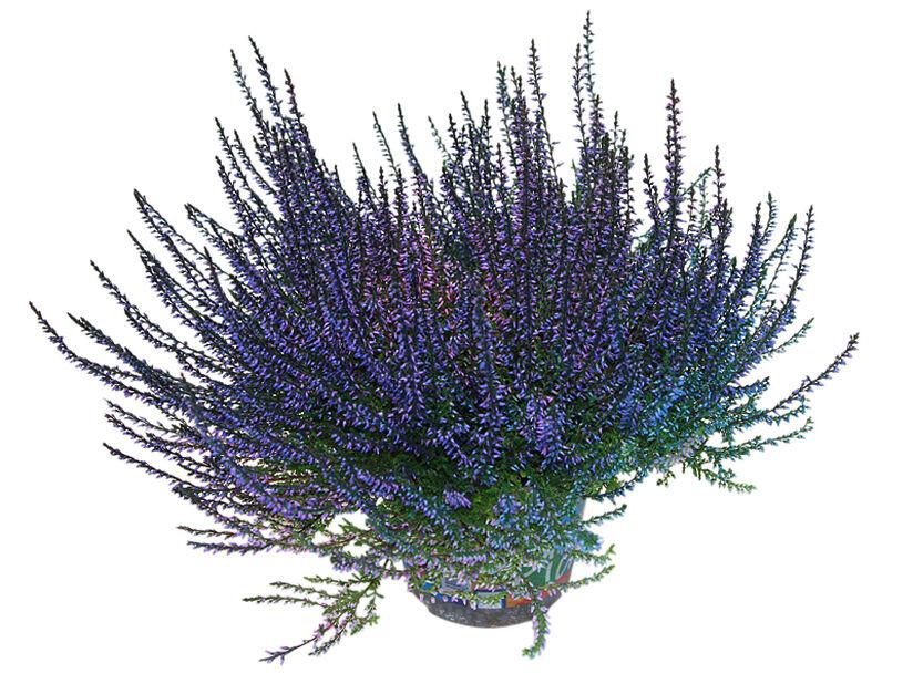 Høstlyng farget, Ø12 cm, Blå