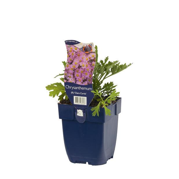 Krysantemum 'Clara Curtis', Ø11 cm, Rosa
