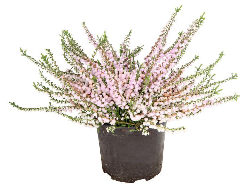 Høstlyng budflower 9 cm