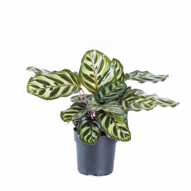 Calathea 'Makoyana', Høyde 50 cm, Grønn