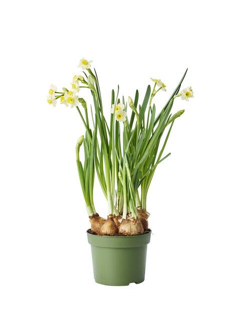 Minipåskelilje  'Minnow ', Ø12 cm, Gul