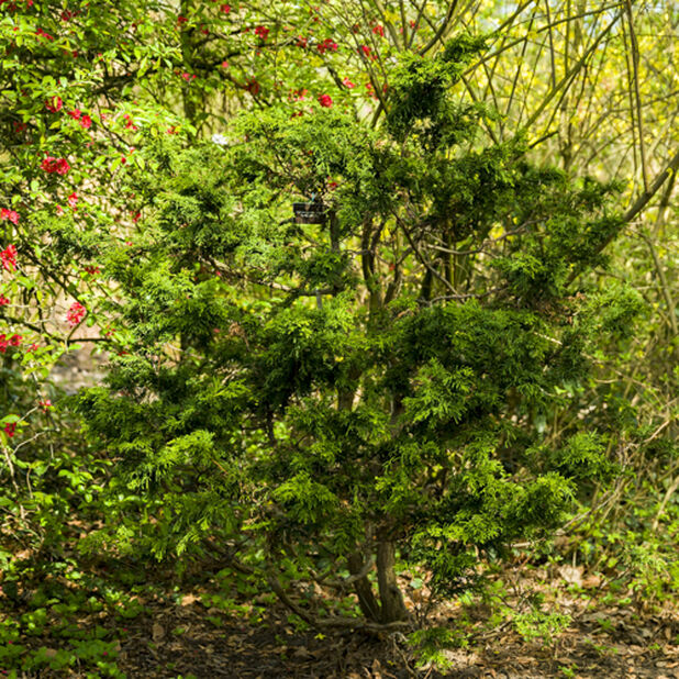 Solsypress 'Lycopodioides' , Ø26 cm, Grønn