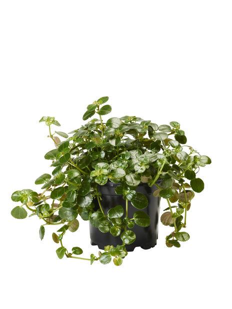 Glanspilea, Høyde 15 cm, Grønn