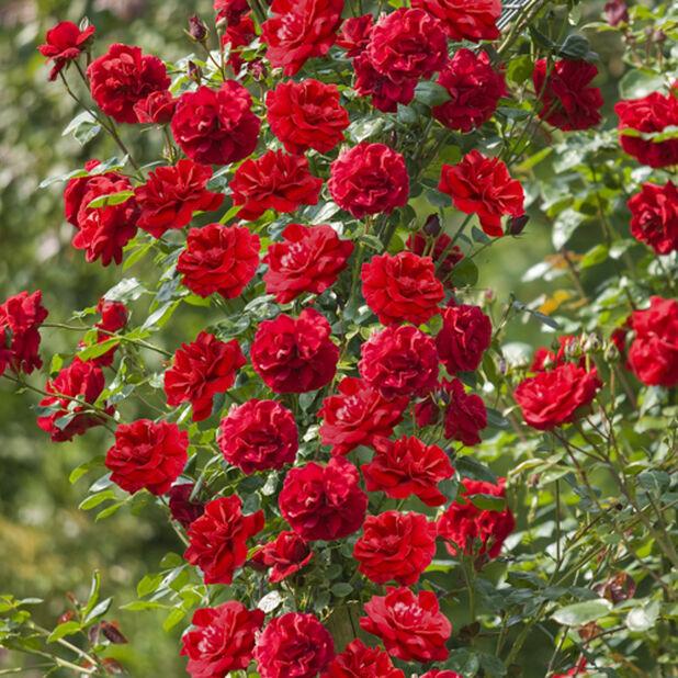Rose tower, Høyde 50 cm, Rød