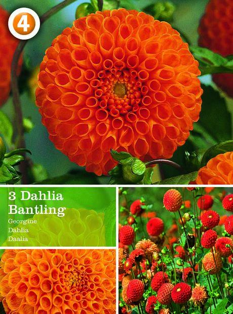 Vårløk Dahlia pompon 'Bantling', Oransje