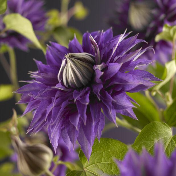 Klematis 'Multy Blue', Høyde 70 cm, Blå