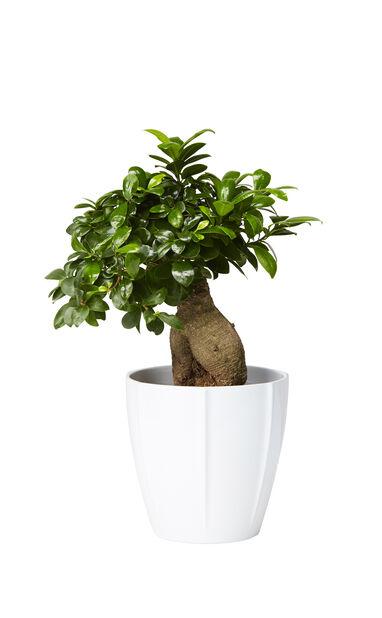 Bonsaifiken, Høyde 40 cm, Grønn