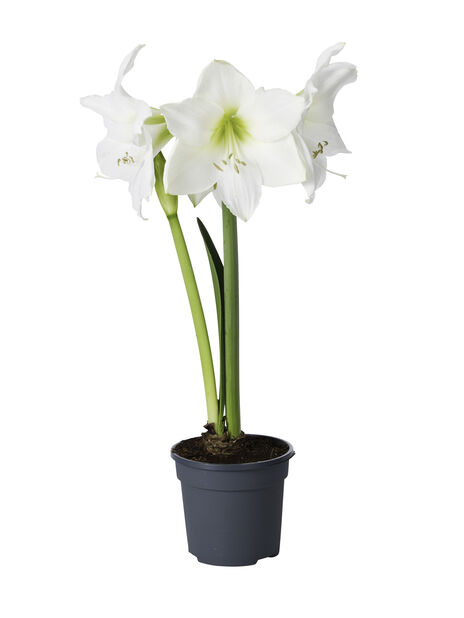 Amaryllis 2 grener 13 cm