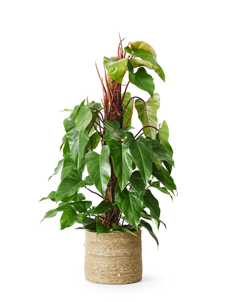 Philodendron 'Red Emerald' 24cm