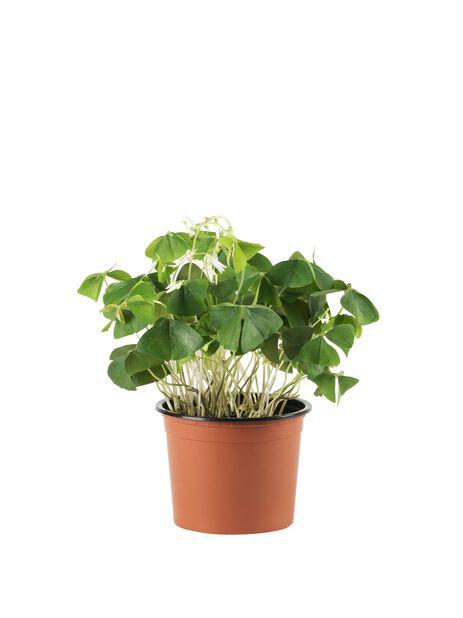 Gjøksyre, Høyde 25 cm, Grønn