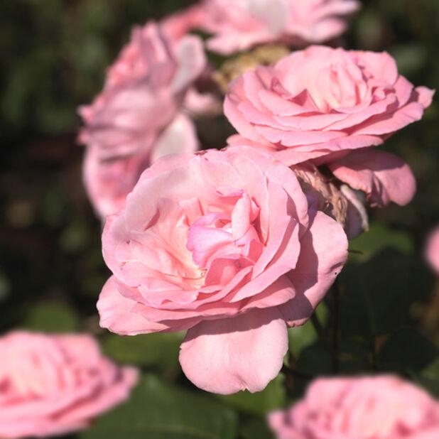 Klaserose 'Astrid Lindgren', Høyde 20 cm, Rosa