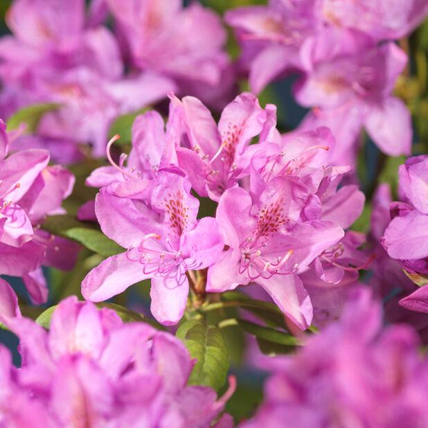 Parkododendron 'Roseum Elegans', Ø35 cm, Rosa