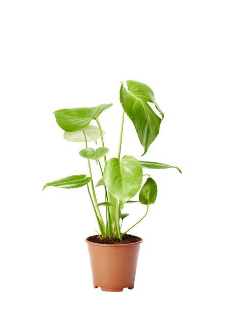 Vindusblad 14 cm