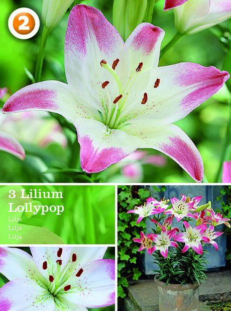 Lilium Asiatic Lollypop, Rosa