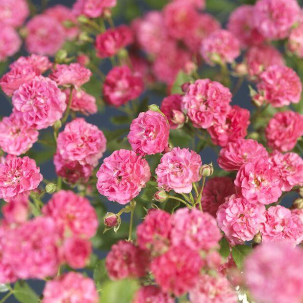 Markdekkerose 'Lovely Fairy'®, Ø19 cm, Rosa