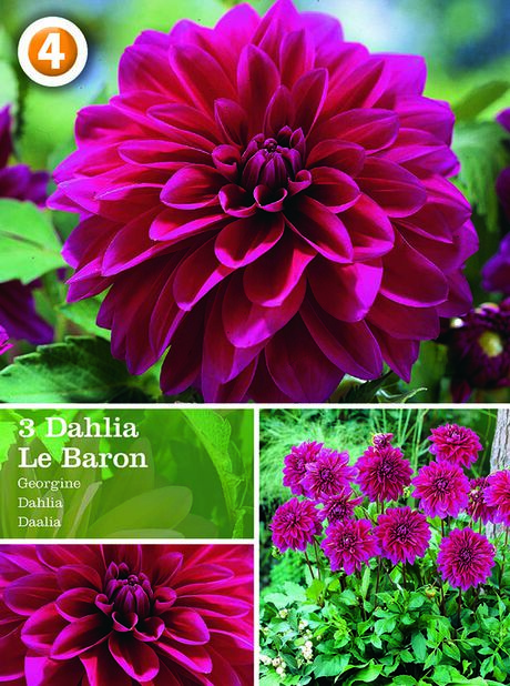 Dahlia Decorative Le Baron, Lilla