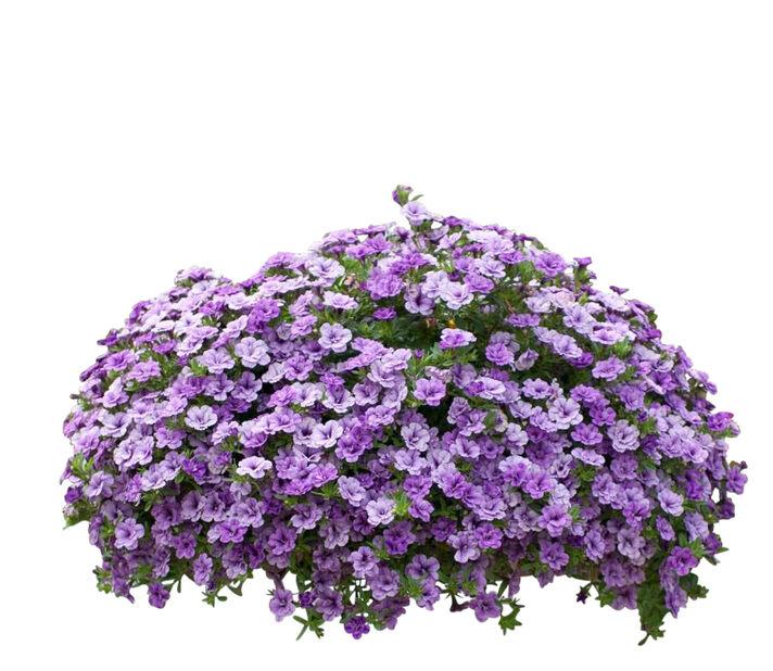 Småblomstret petunia i ampel Ø25cm, doble blå