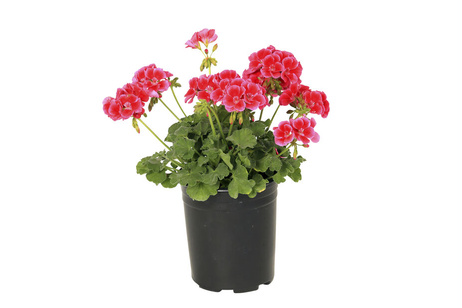 Pelargonia Calliope 'Red Splash' 12 cm