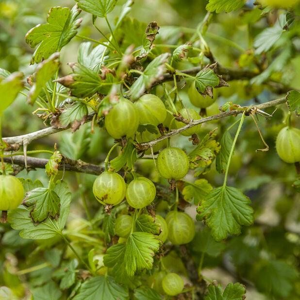 Stikkelsbær 'Invicta', Høyde 40 cm, Grønn