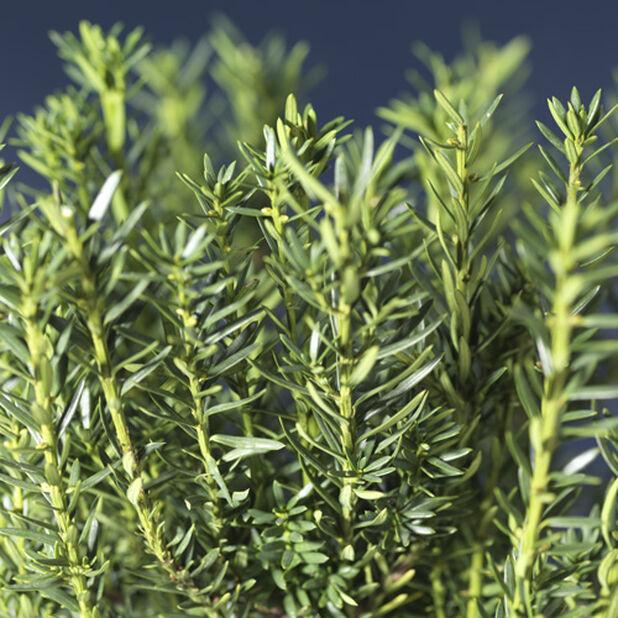 Hybridbarlind 'Hillii', Høyde 40 cm, Grønn
