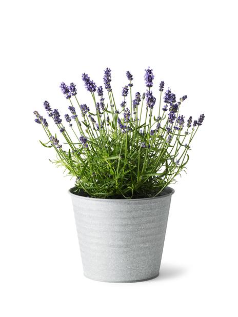 Lavendel, Høyde 30 cm, Blå