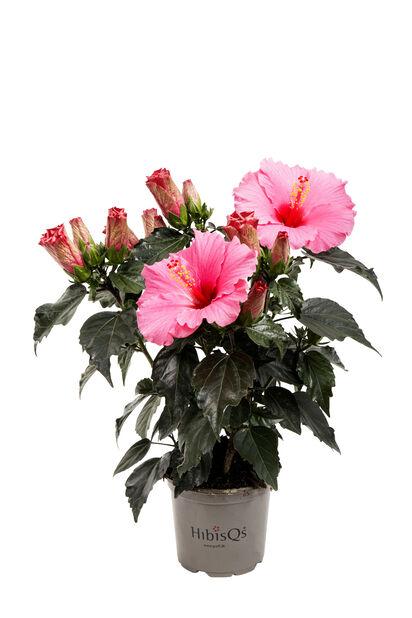 Hawaiirose, Høyde 25 cm, Rosa
