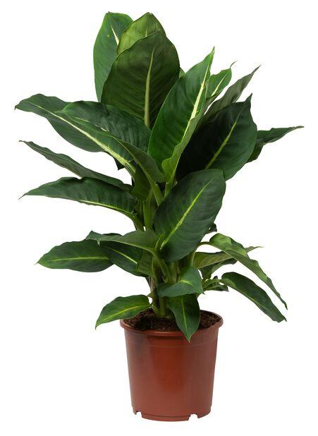 Prikkbladplante, Høyde 40 cm, Grønn