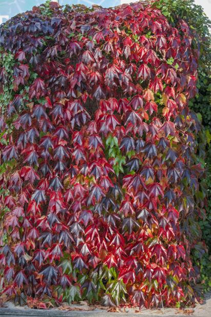 Parthenocissus Tricuspidata 'Veitchii' 5L