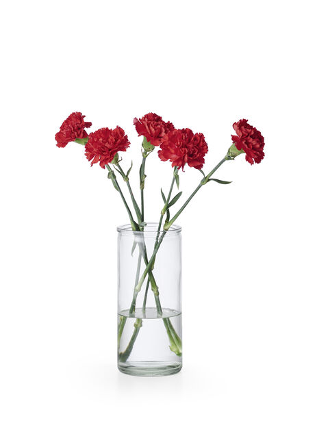 Carnation + Germini