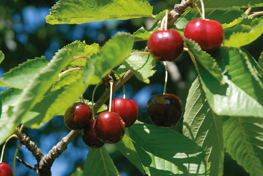 Søtkirsebær 'Stella' på espalier, Høyde 150 cm, Rød