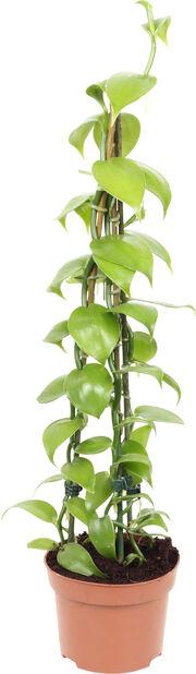 Vaniljeorkidé, Høyde 45 cm, Grønn