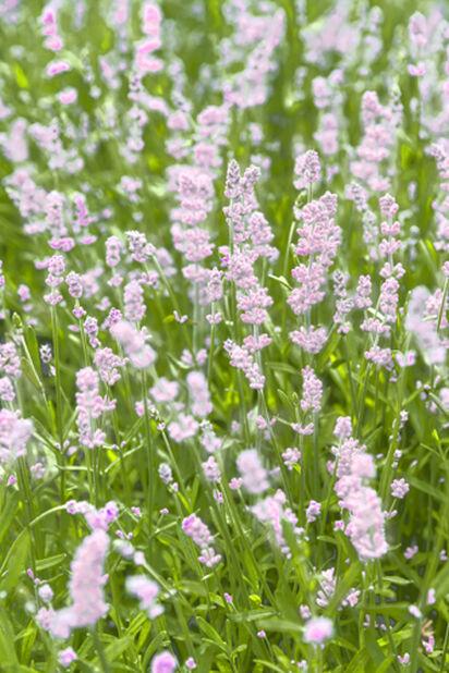 Lavendel 17cm Hvit