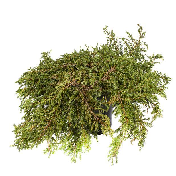 Fjelleiner 'Repanda', Ø19 cm, Grønn