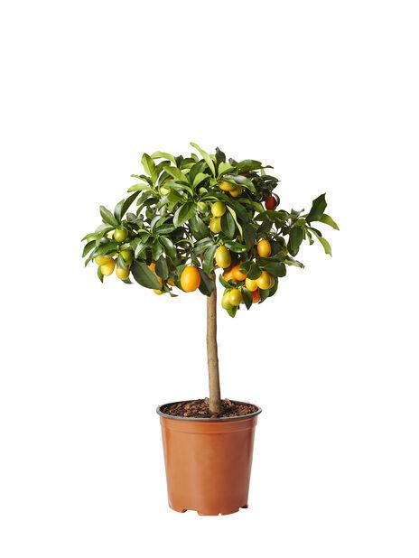 Oppstammet kumkvat, Ø19 cm, Oransje