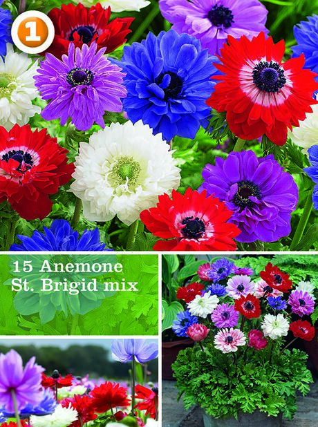Miscellaneous  Anemone St. Brigid (mix), Flerfarget